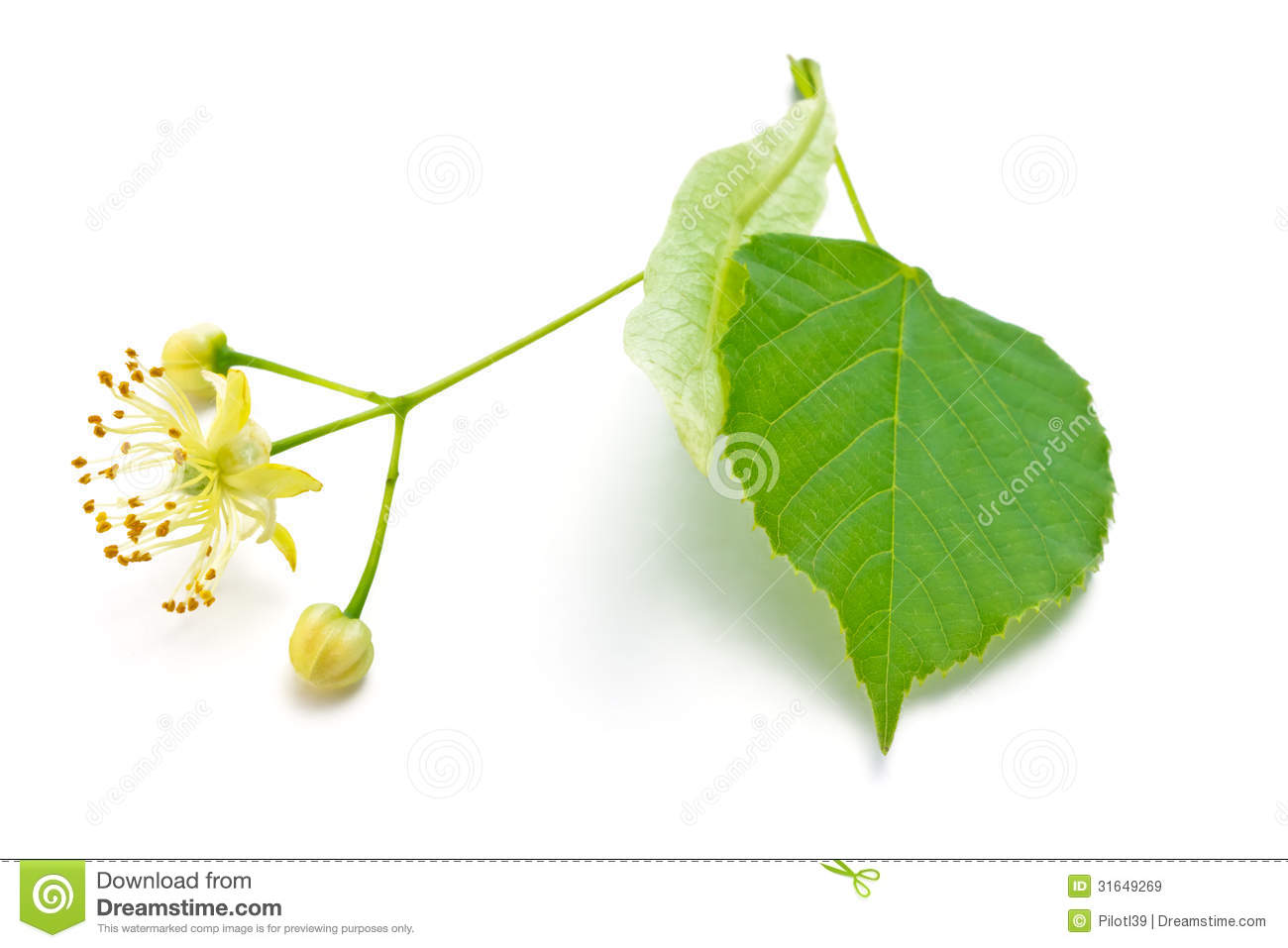 Linden Flowers Royalty Free Stock Image