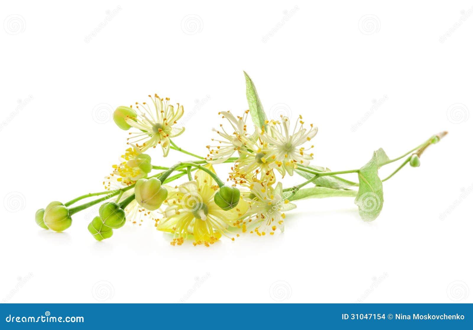 Image Gallery linden flower