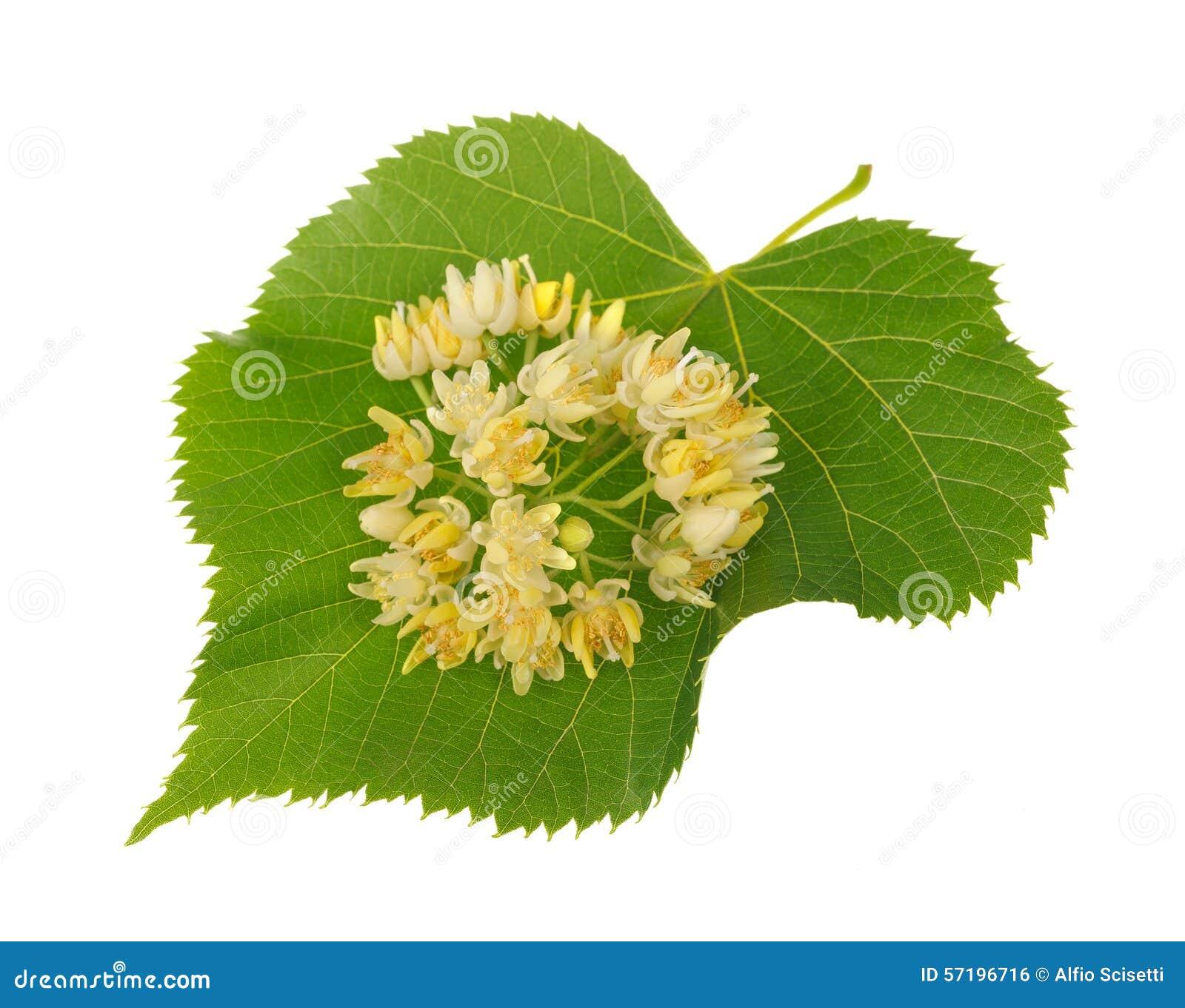 Linden Flowers Stock Image