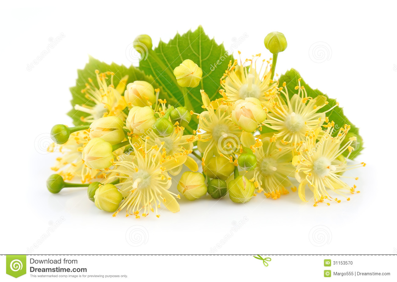 Linden flowers stock photo image of lime disorders 31153570 linden flowers on a white background izmirmasajfo