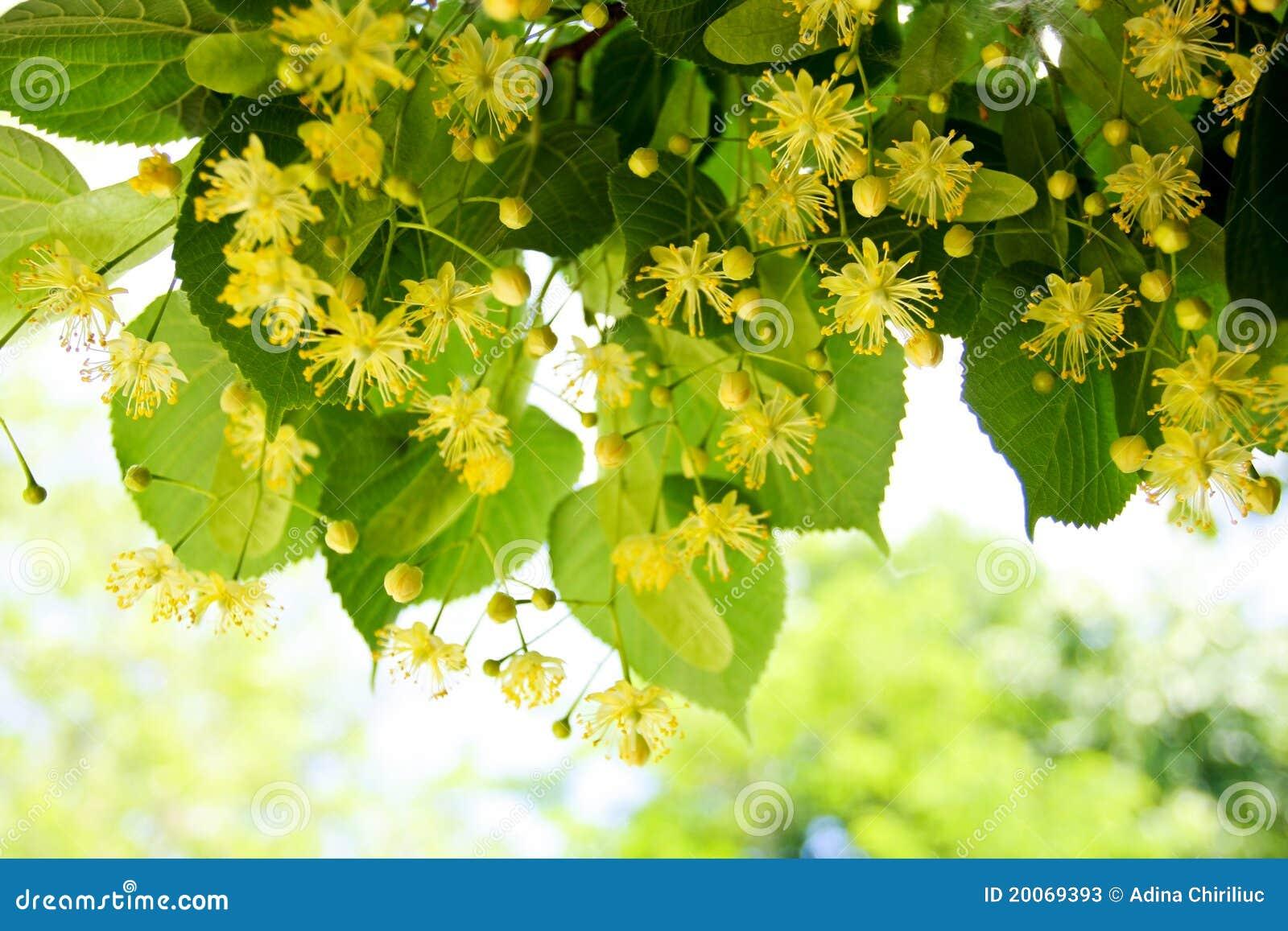 Linden Tree Flowers Stock s Image