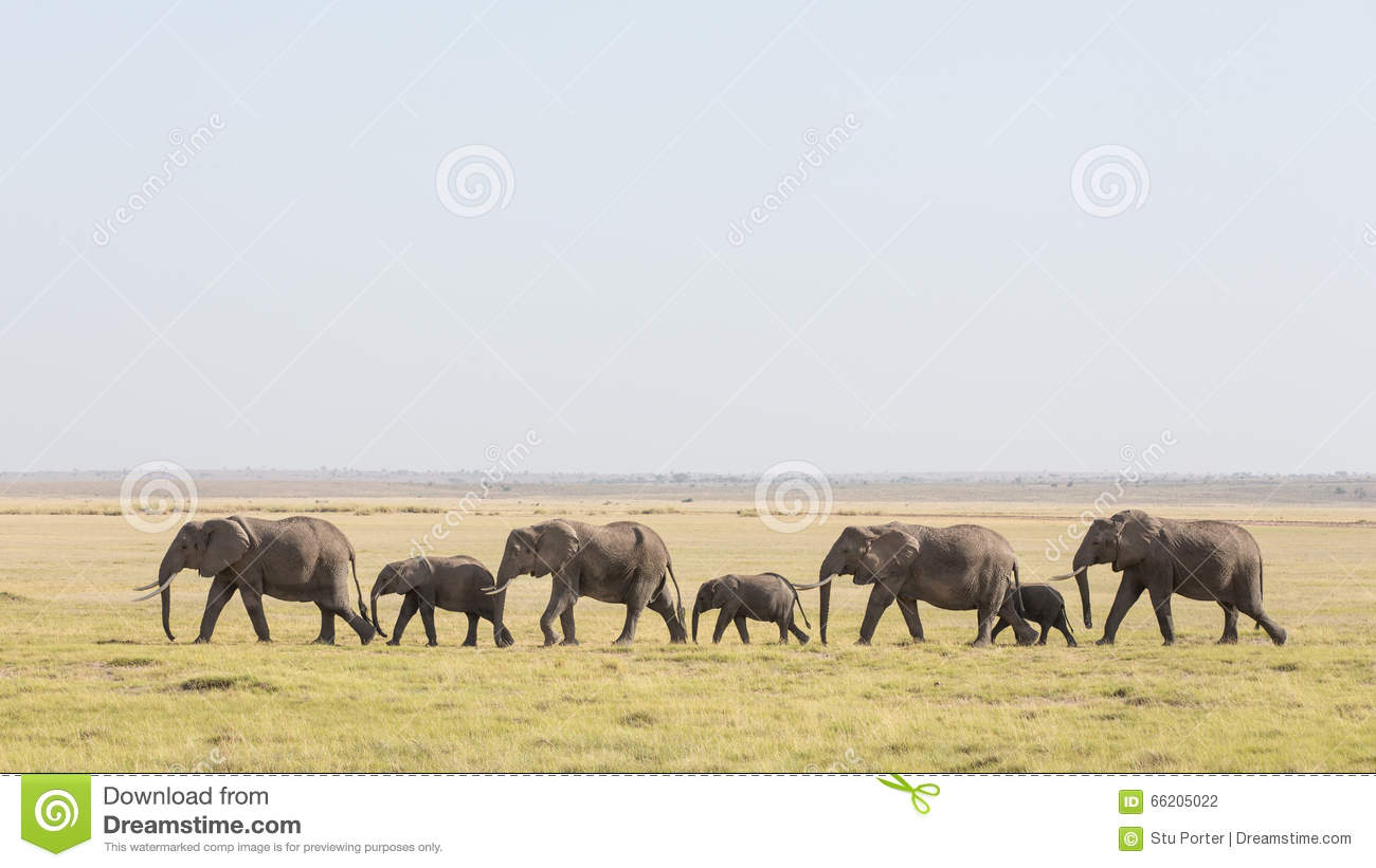 a line of african elephants walking through amboseli in
