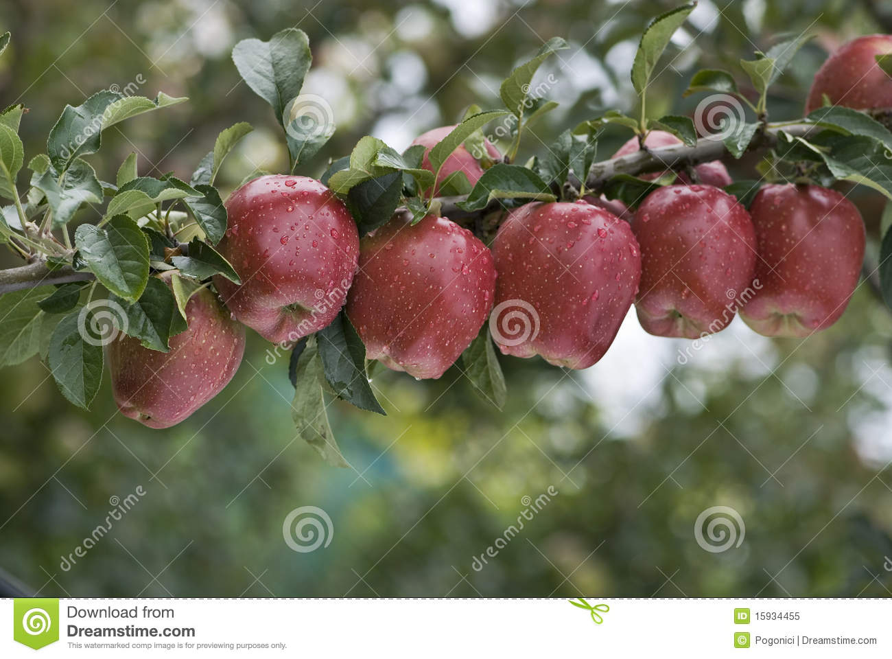 A line of apples