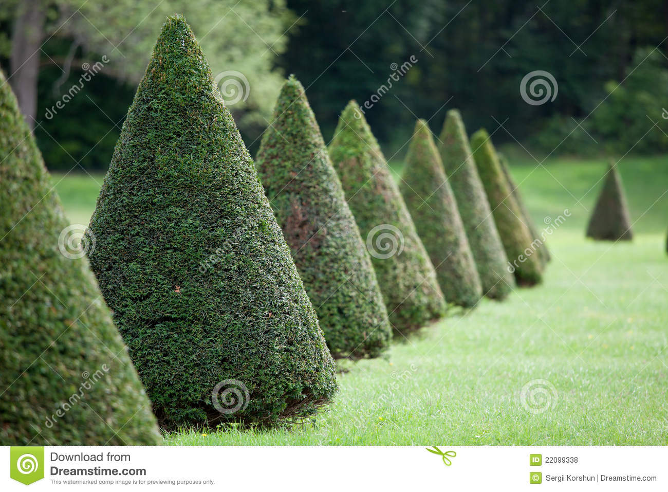 Line Of Cone Evergreen Bushes In Cultivated Park Stock