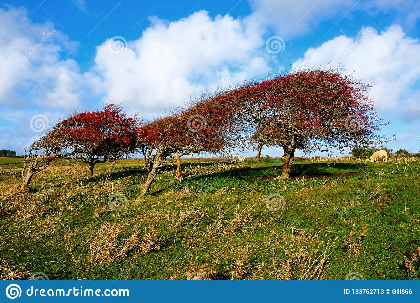 a line of four windswept Ripe red hawthorn berry bush, Crataegus monogyna in a field