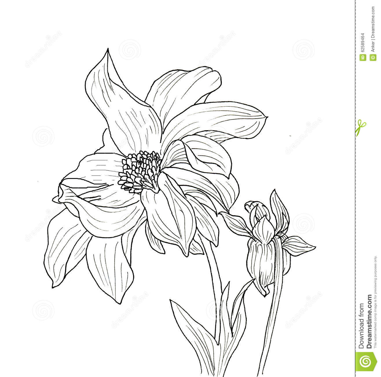Black Line Flower Drawing : Line ink drawing of dahlia flower stock illustration