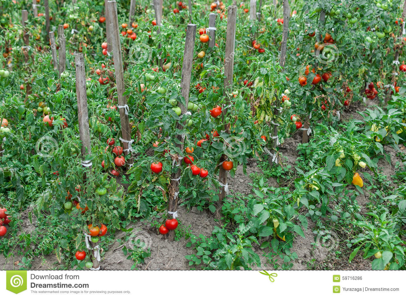 Line of tomato bushes growing in the garden stock photo Tomato garden design