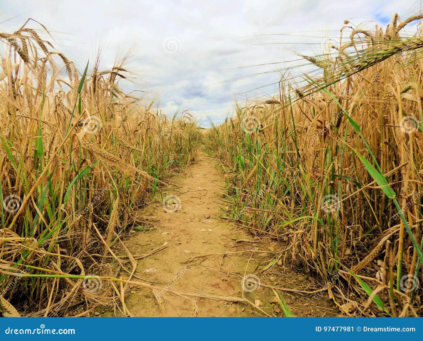 Linea di giacimento di grano
