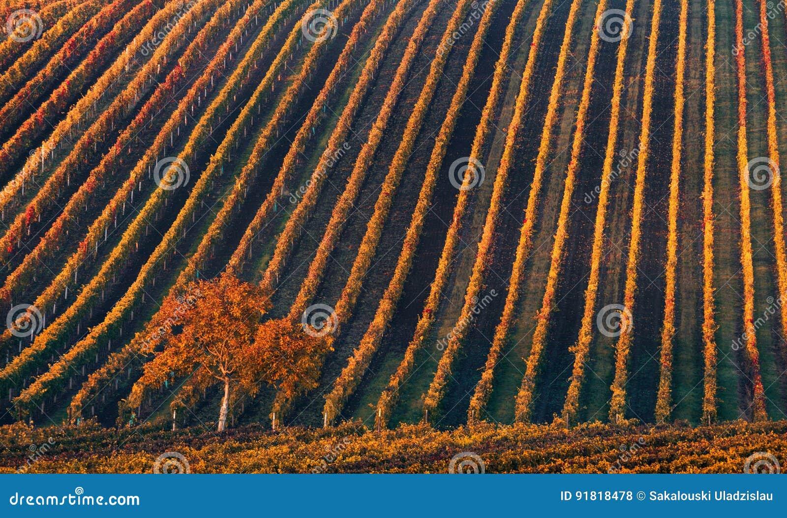 Linea e vino Un albero solo di autunno contro lo sfondo delle linee geometriche di vigne di autunno