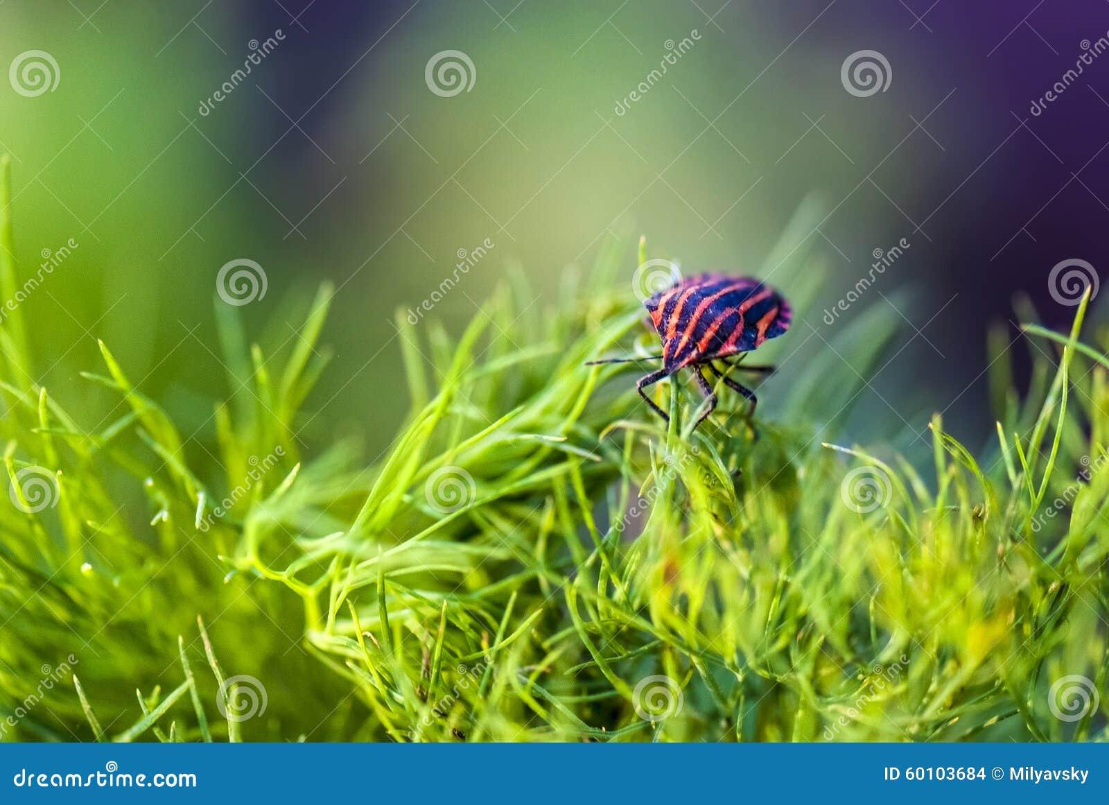 Photo intéressante et non occasionnelle de l insecte italien répandu de  troubadour se reposant sur une herbe Insecte tout à fait grand avec les  rayures ... ca184f8eb36