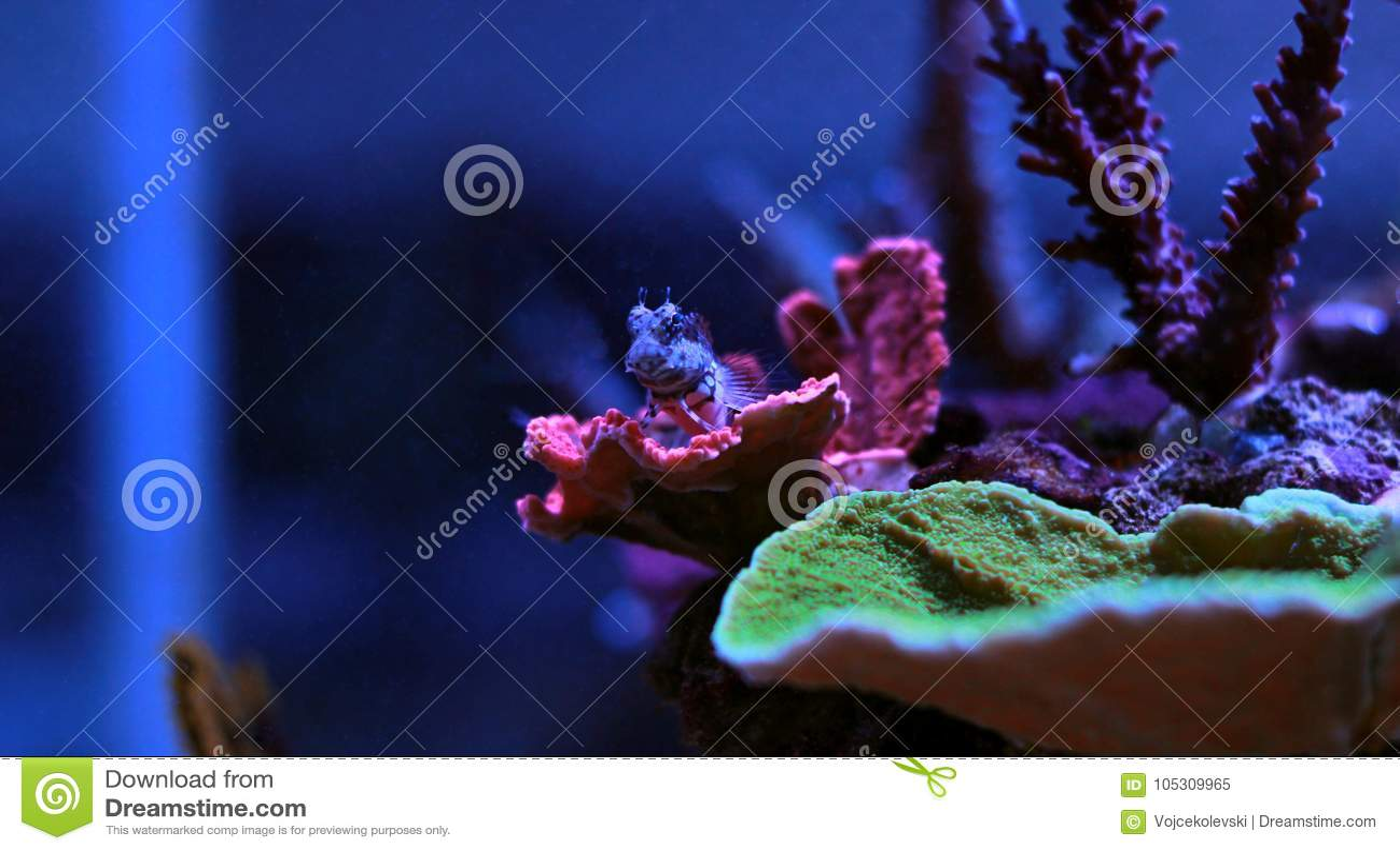 Linespot Flasher Wrasse Paracheilinus lineopunctatus