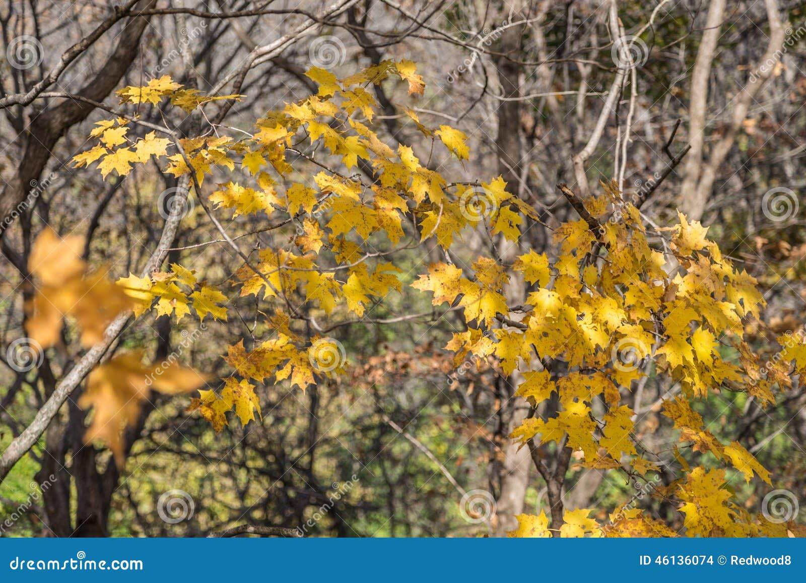 Lingering Golden Yellow Autumn Leaves