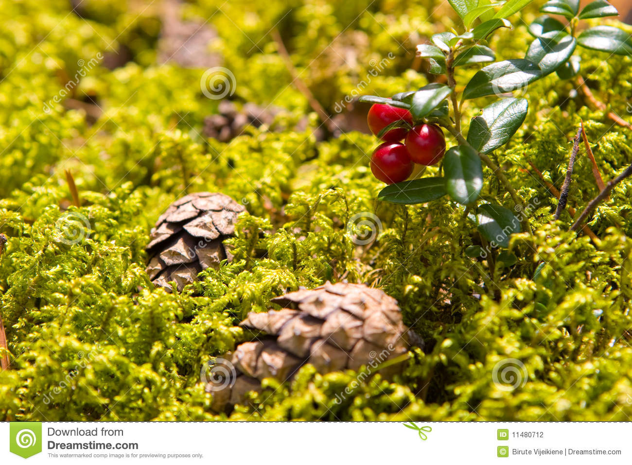 Lingonberry (Vaccinium vitis-idaea) and two cones on the forest floor.