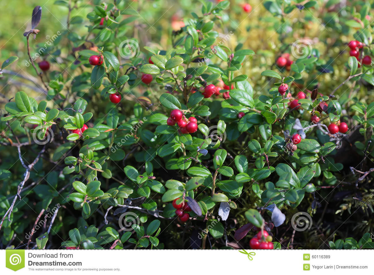 lingonberry on a bush in the woods stock photo image 60116389. Black Bedroom Furniture Sets. Home Design Ideas