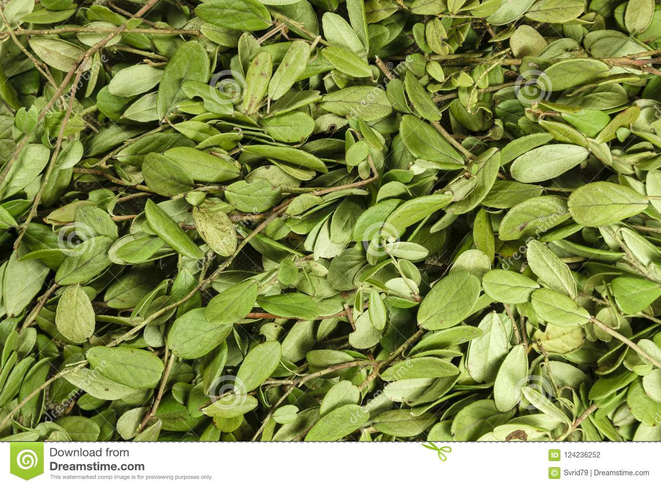 Lingonberry leaves: application in traditional medicine 52