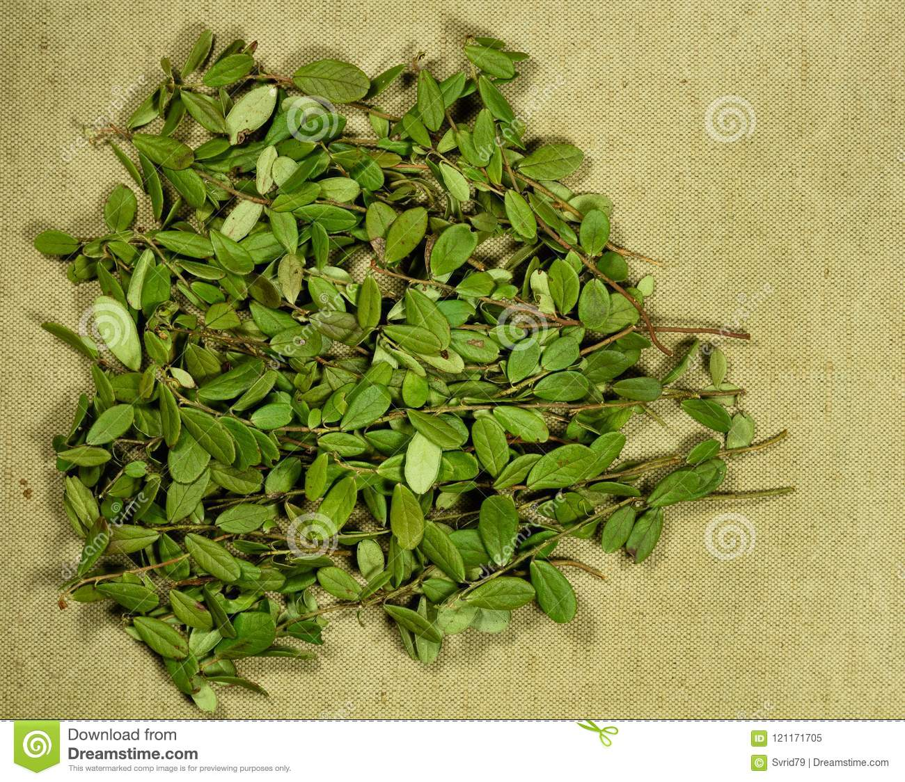 Lingonberry leaves: application in traditional medicine 42