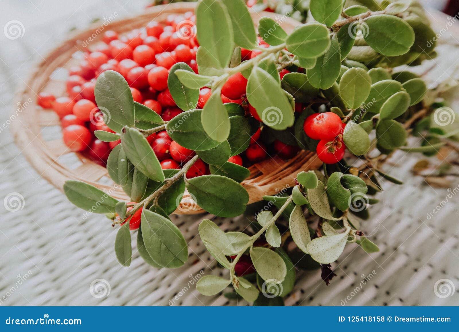 Lingonberry vermelho na flora euro-asiática da airela da floresta, lingonberry da floresta