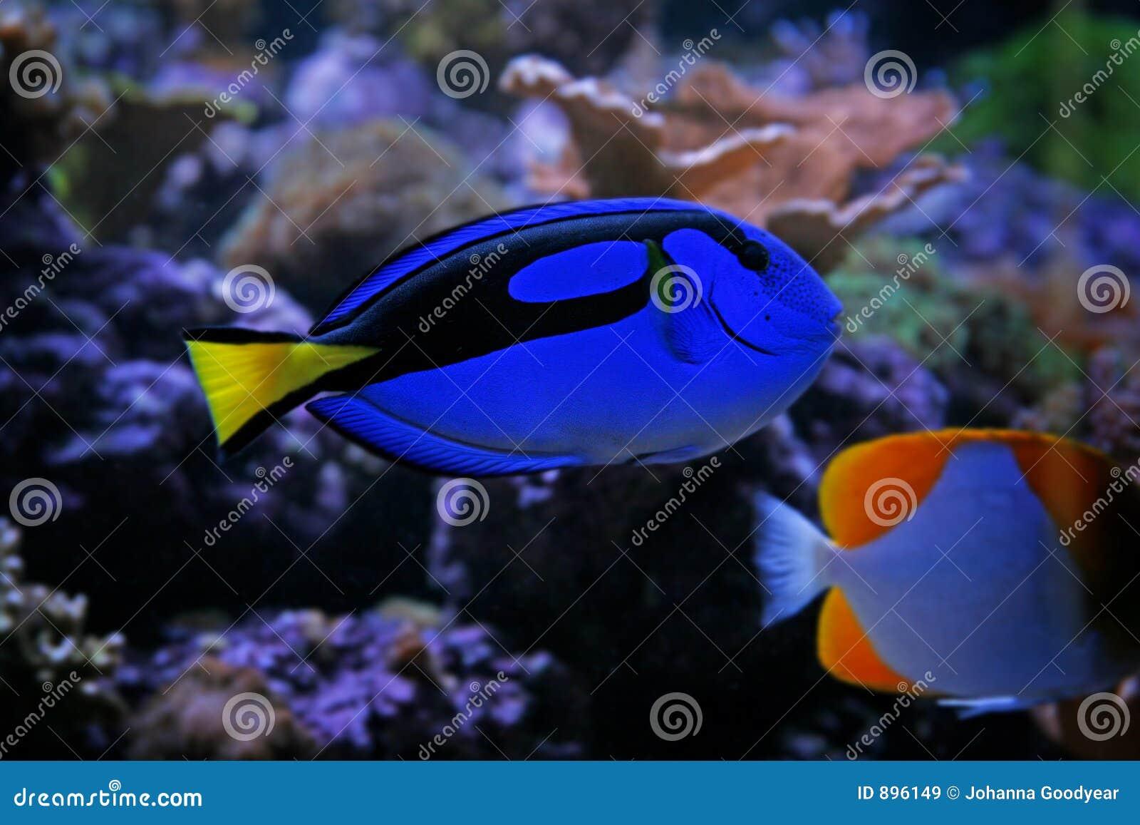 Linguetta blu