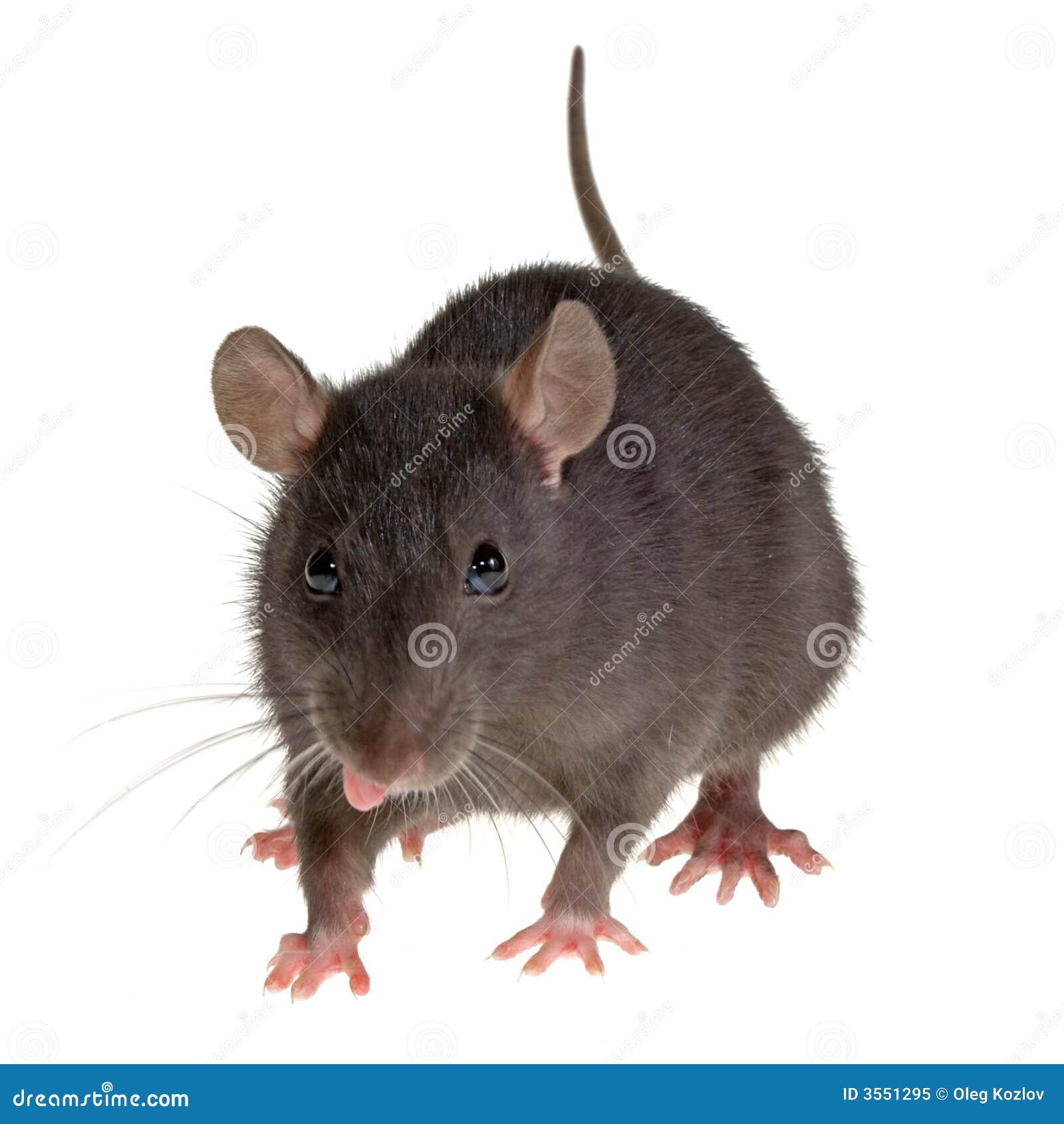 Linguetta del ratto