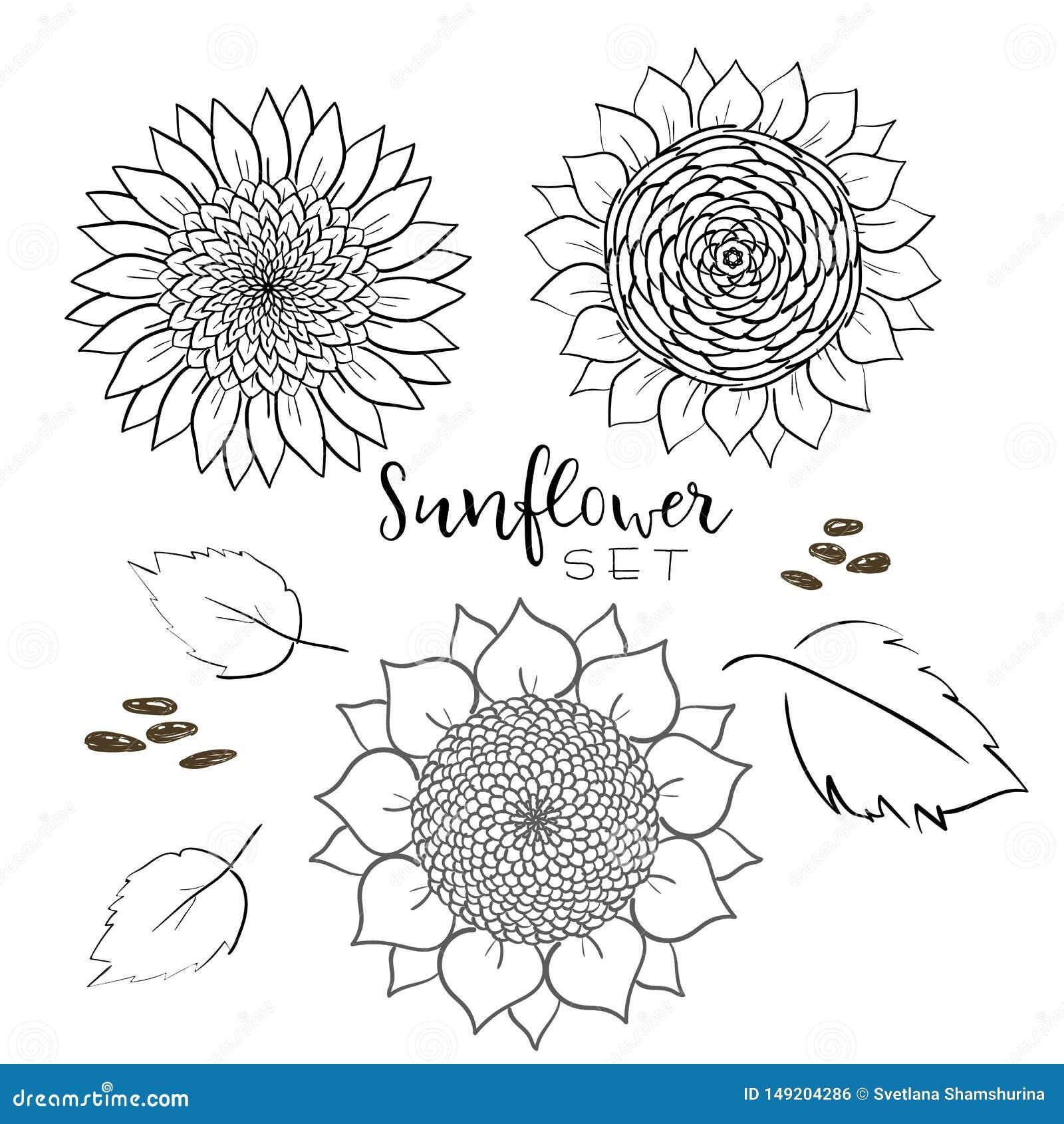 Linha grupo da semente e da flor de girassol do desenho do vetor Ilustra??o isolada tirada m?o Esbo?o do vintage do ingrediente d