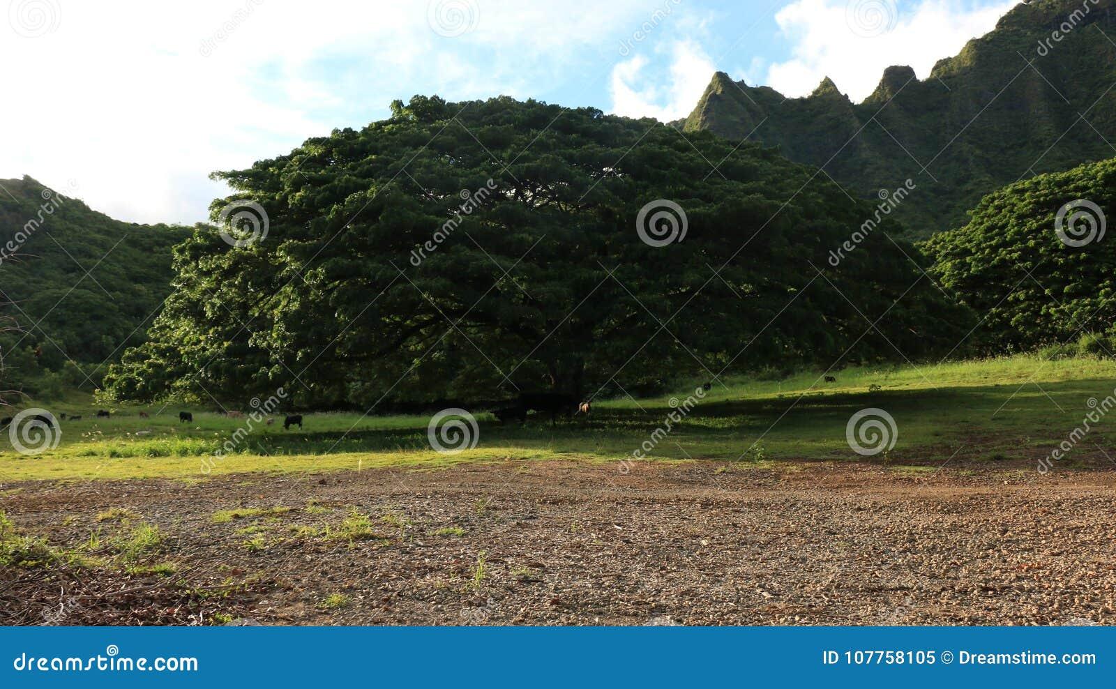 Linha norte da montanha de oahu da costa e árvore e campo verdes
