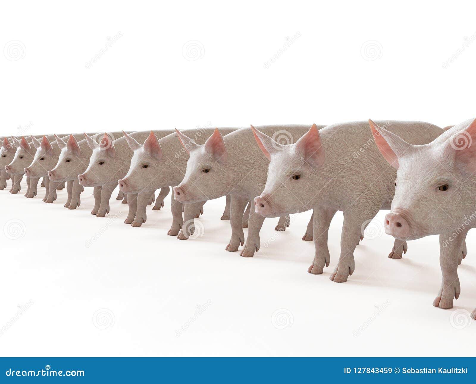Linia świnie