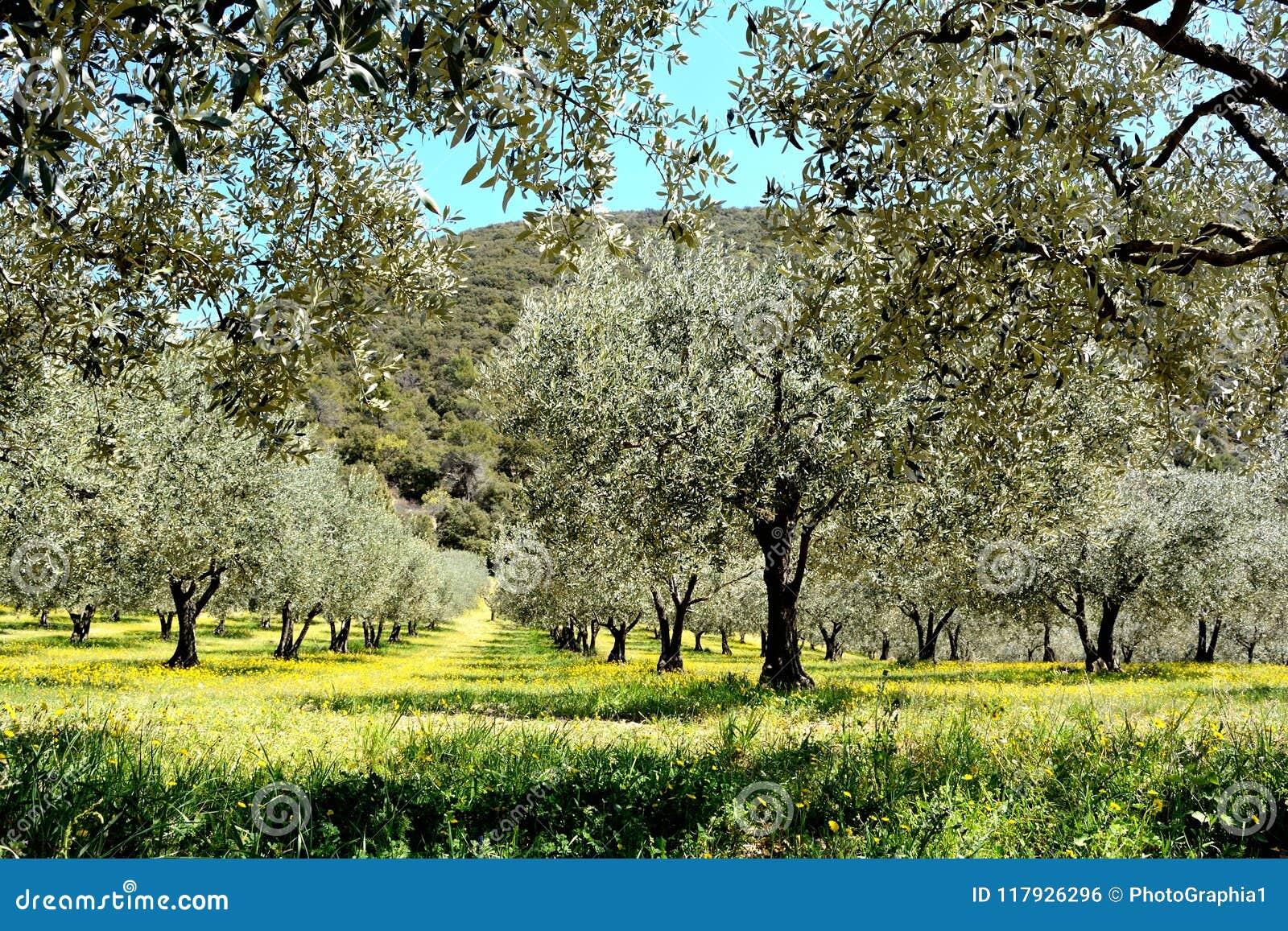 Linie drzewa oliwne w polu, zakrywać żółtym wiosna kwiatem