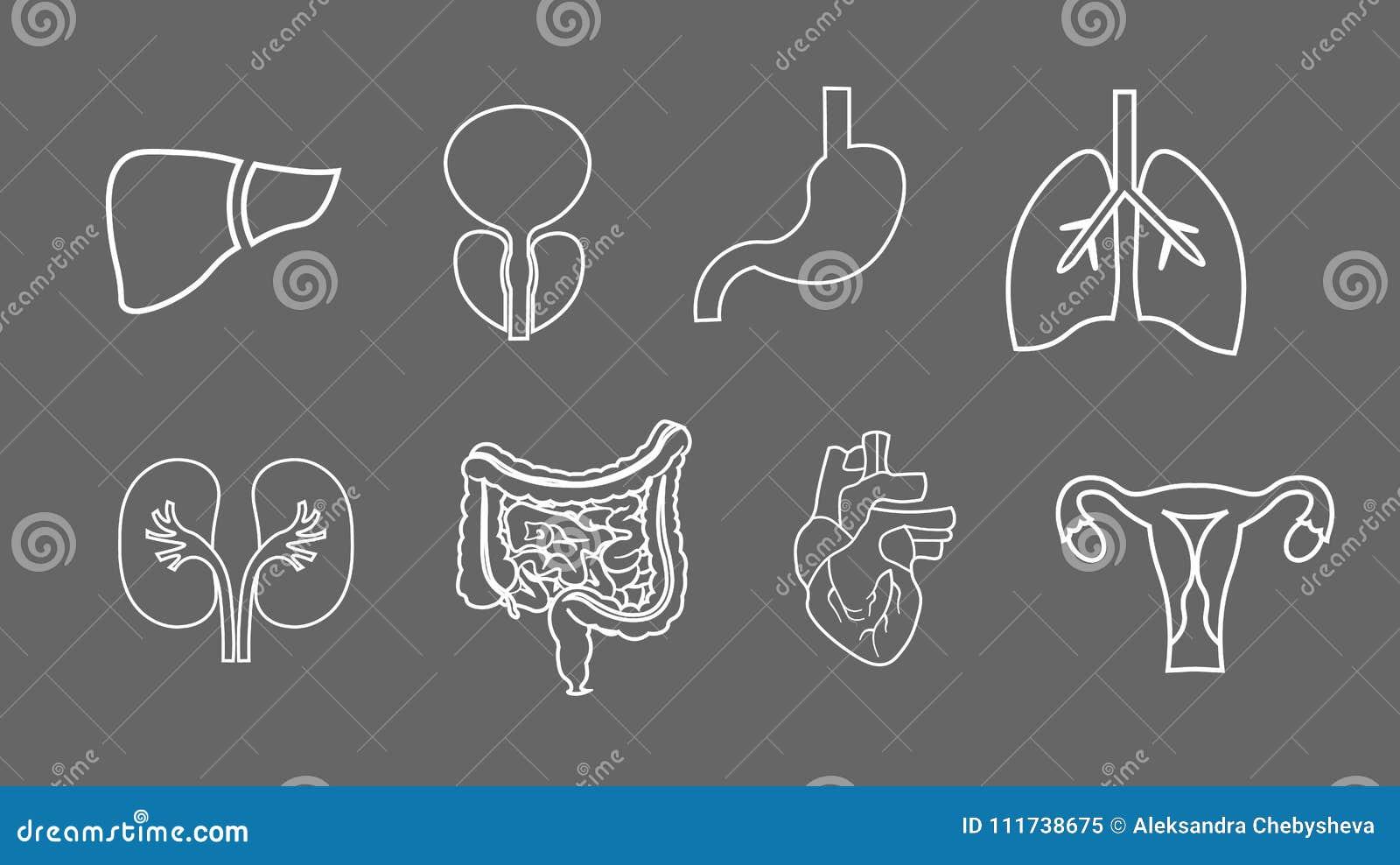 Linie Ikonen Der Menschlichen Organe Eingestellt Anatomie Des ...