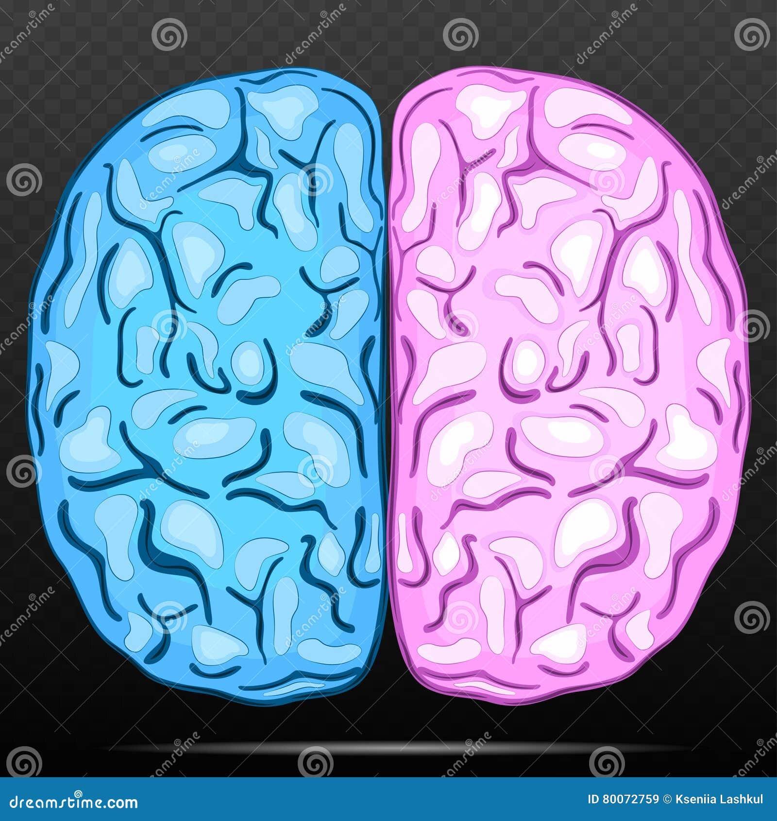 Linke Und Rechte Hemisphäre Des Menschlichen Gehirns Vektor ...