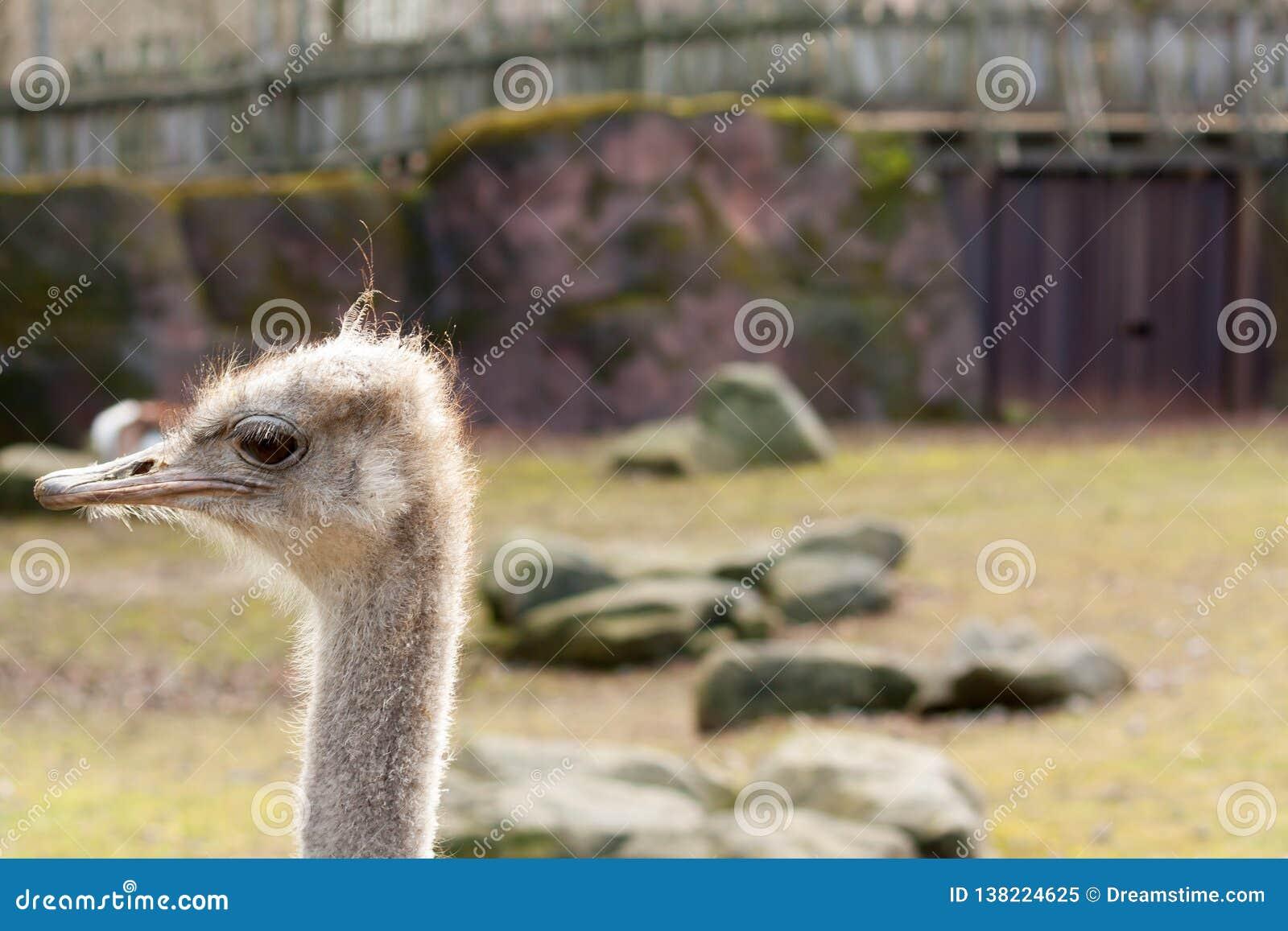 Linker het staren struisvogel