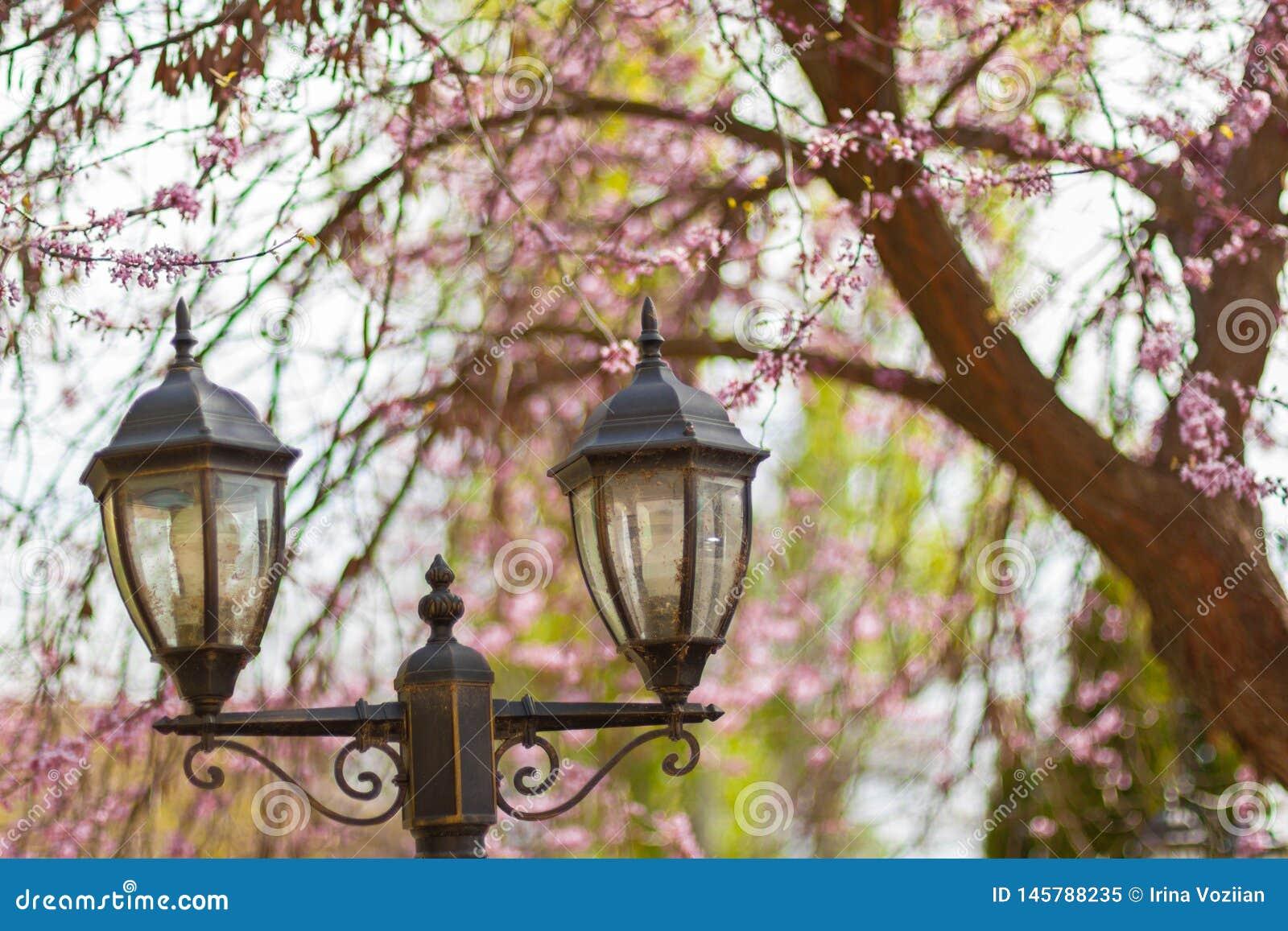 Linternas de la calle con el árbol floreciente de Sakura