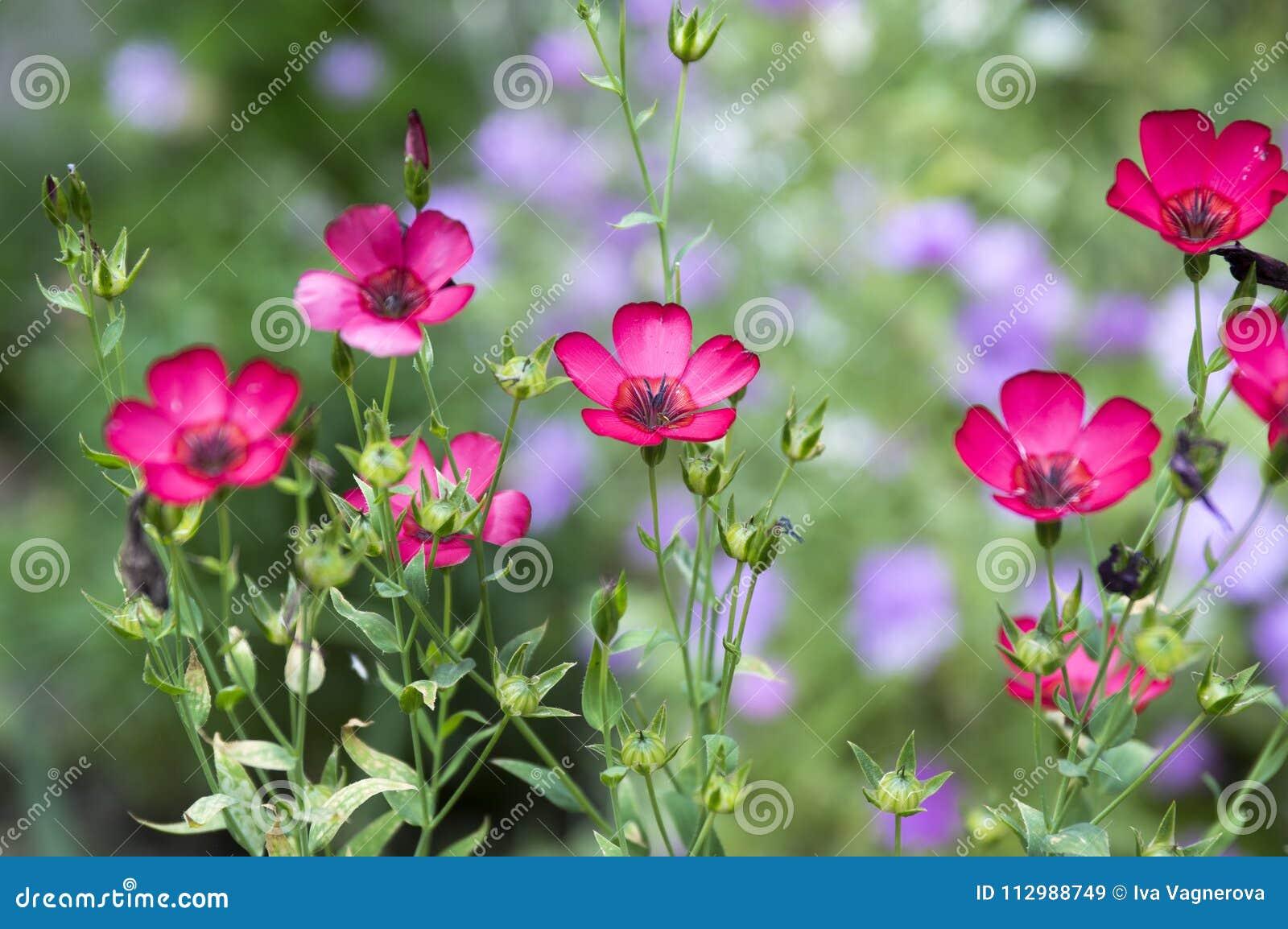 Linum grandiflorum purple flowering plant