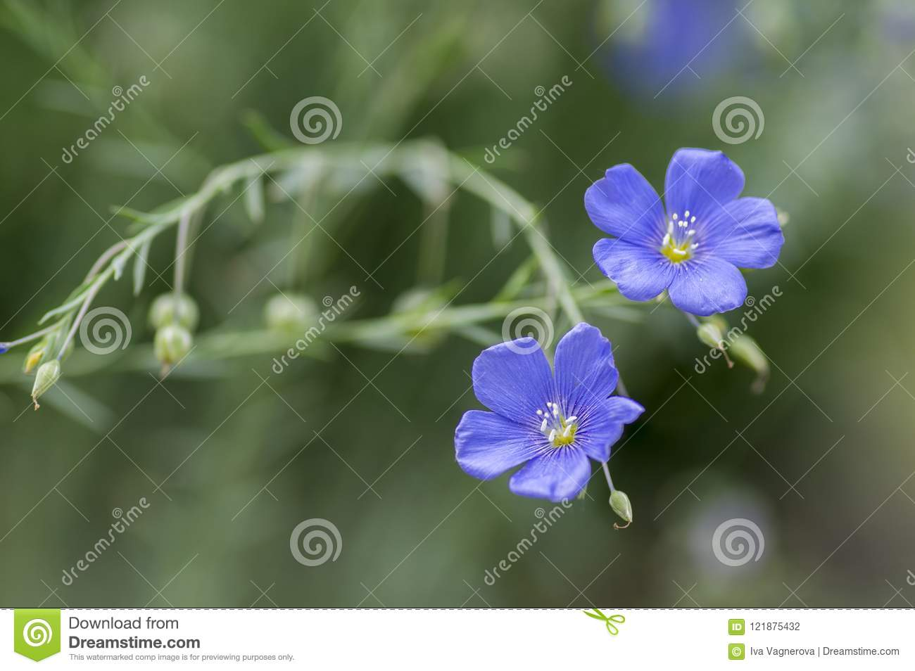 Linum lewisii perennial ornamental beautiful flowers bright light linum lewisii perennial ornamental beautiful flowers bright light blue flowering plant izmirmasajfo
