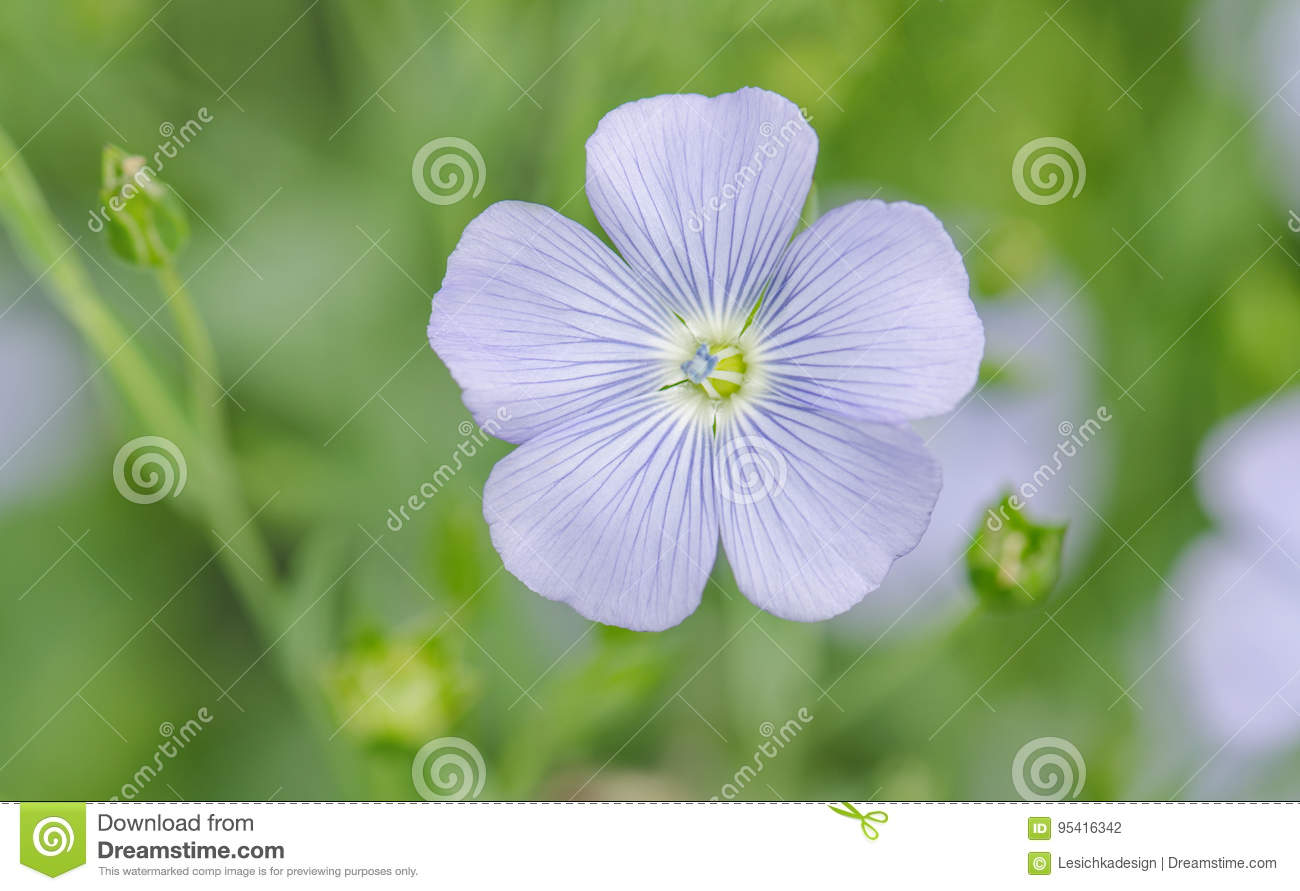 Linum perenne perennial flax blue flowers of flax stock photo linum perenne perennial flax blue flowers of flax izmirmasajfo