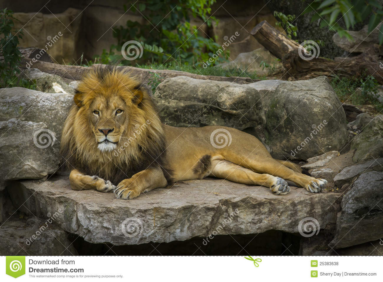 Lion Royalty Free Stock Photos - Image: 25383638
