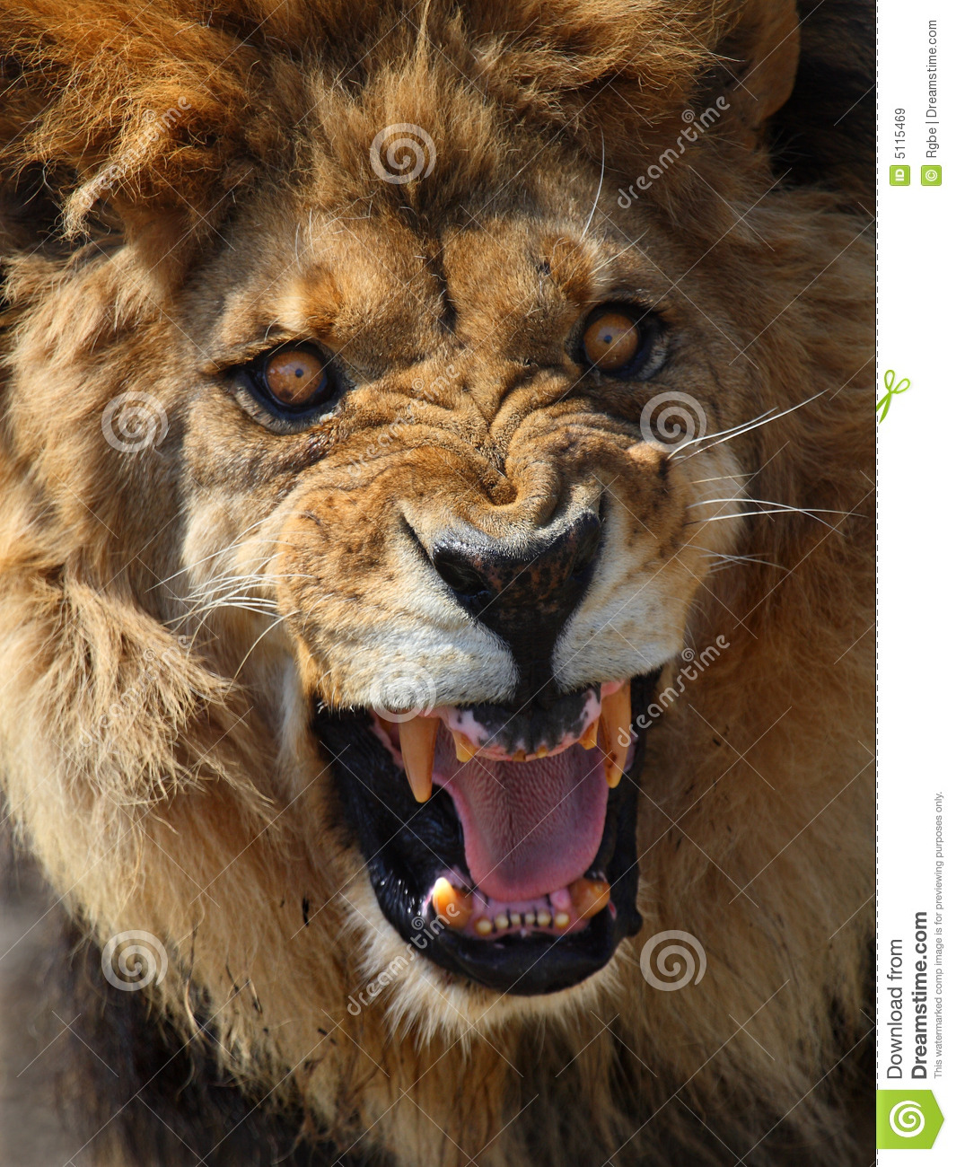 lion stock image image of portrait tooth male mouth 5115469