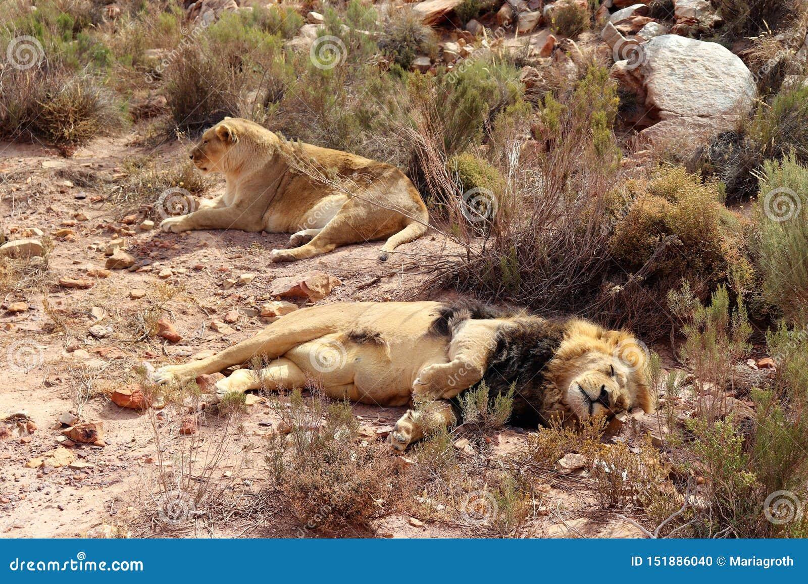 The lion is Africa`s largest terrestrial predator