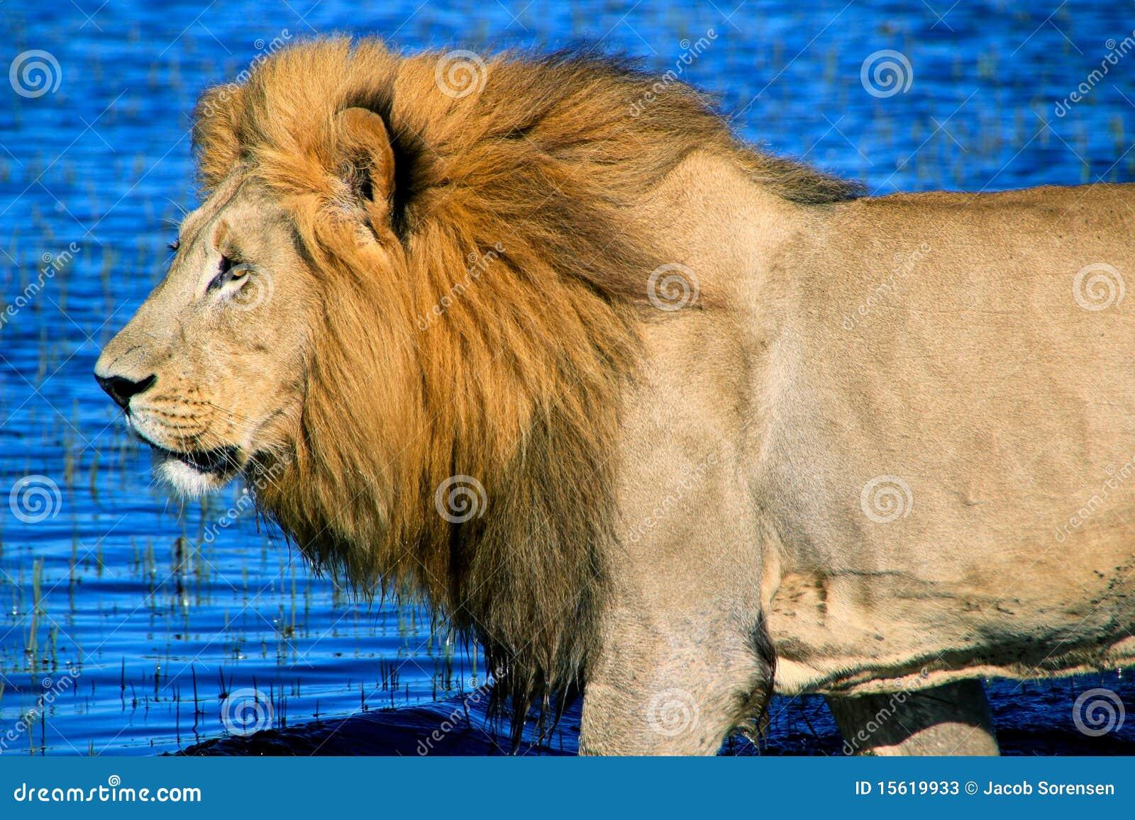 Lion africain mâle