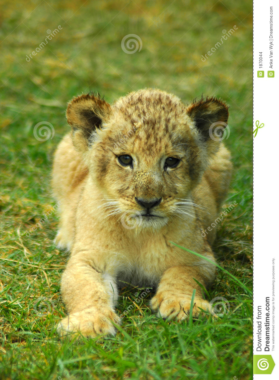 lion baby stock images image 1870044