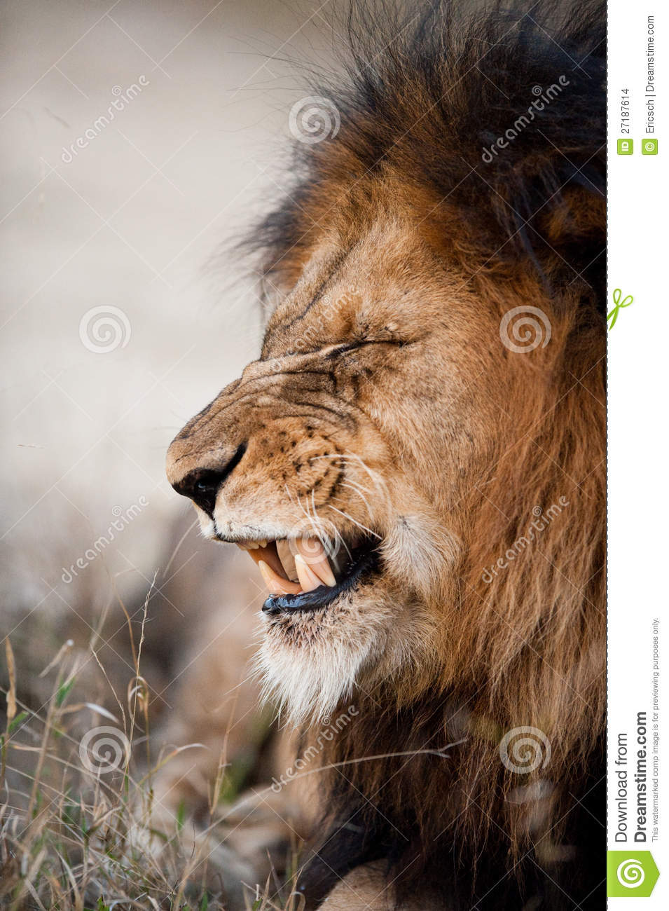 More similar stock images of ` Lion baring his teeth `