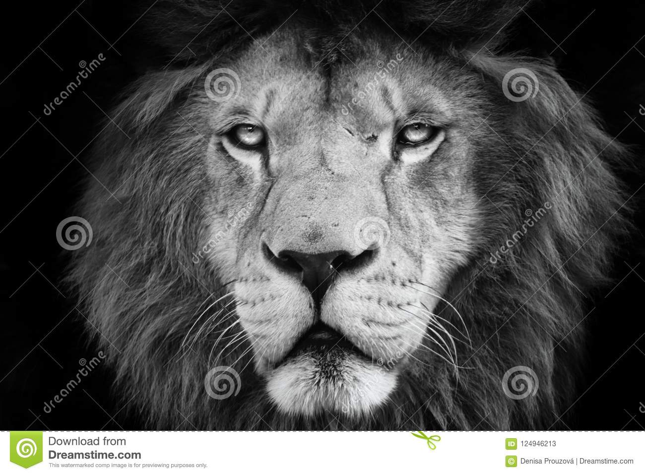 Portrait lion with black and white colour face lion lion look at the camera photographs from the animal world black and white poster high quality
