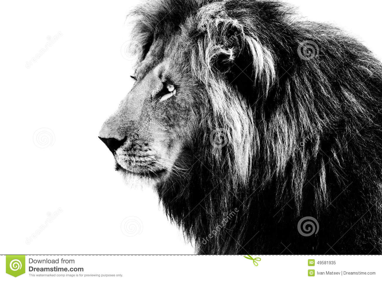 Lion, black and white stock image. Image of wilderness - 49581935