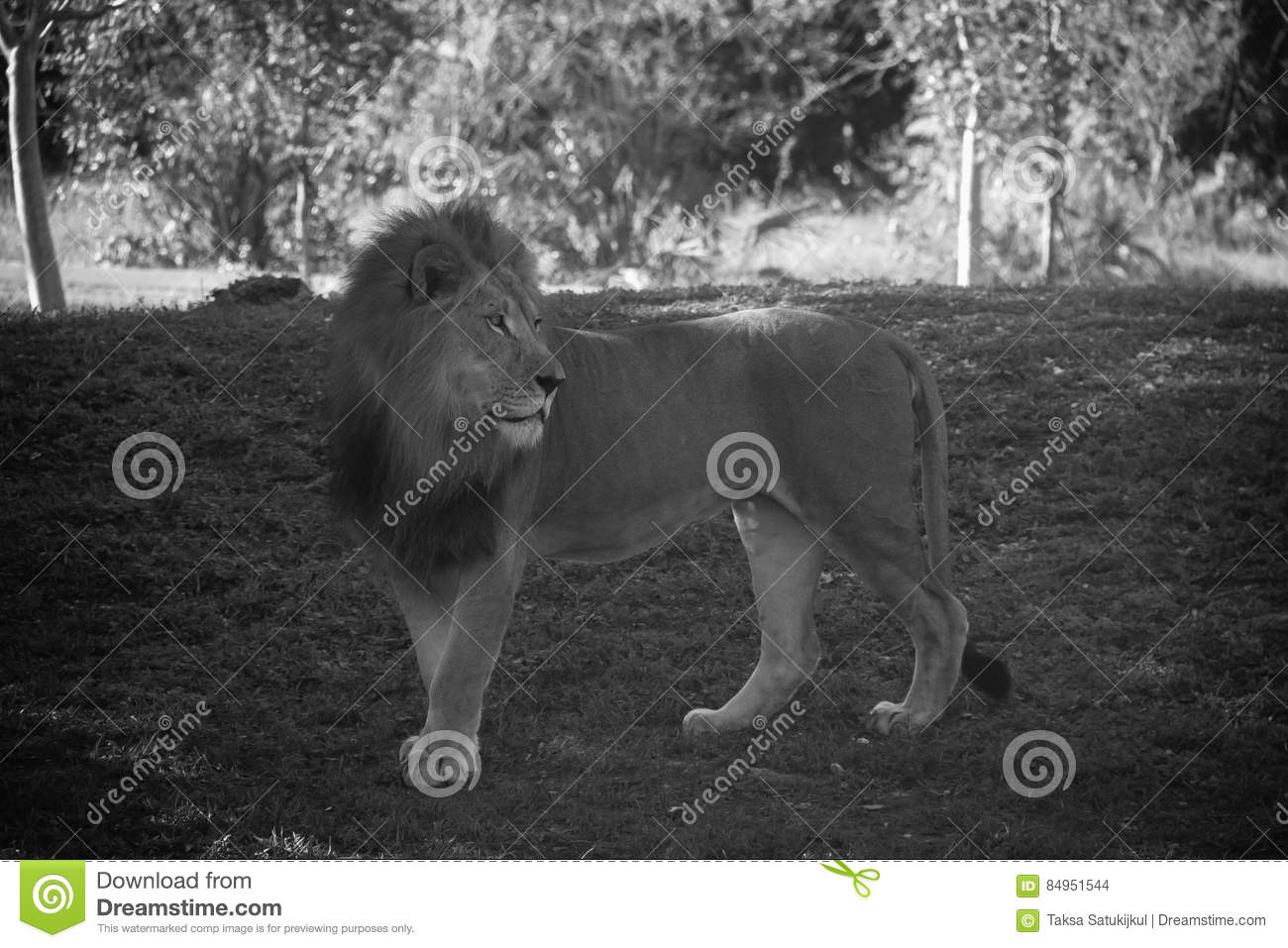 Lion in black and white style