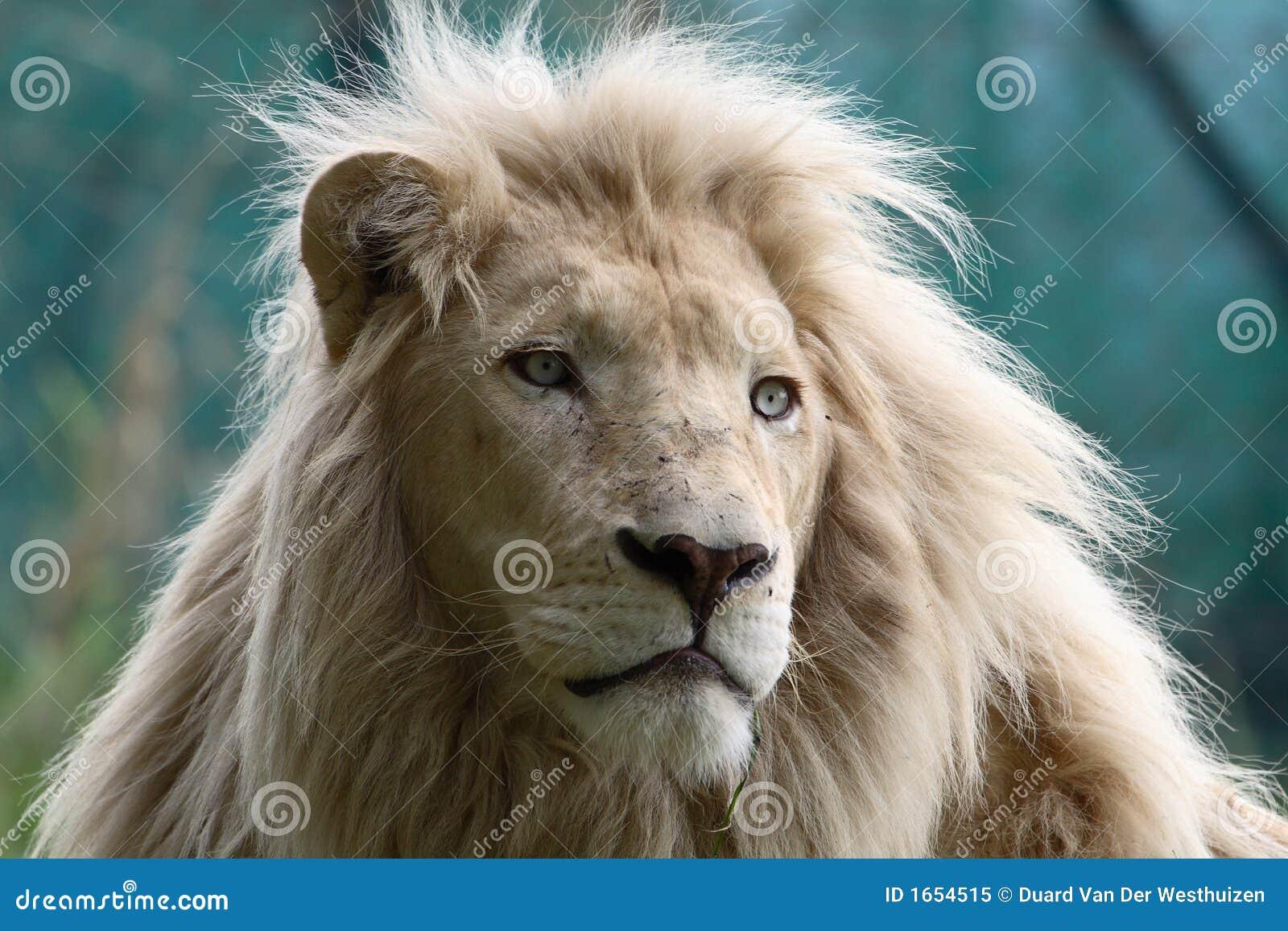 Lion blanc