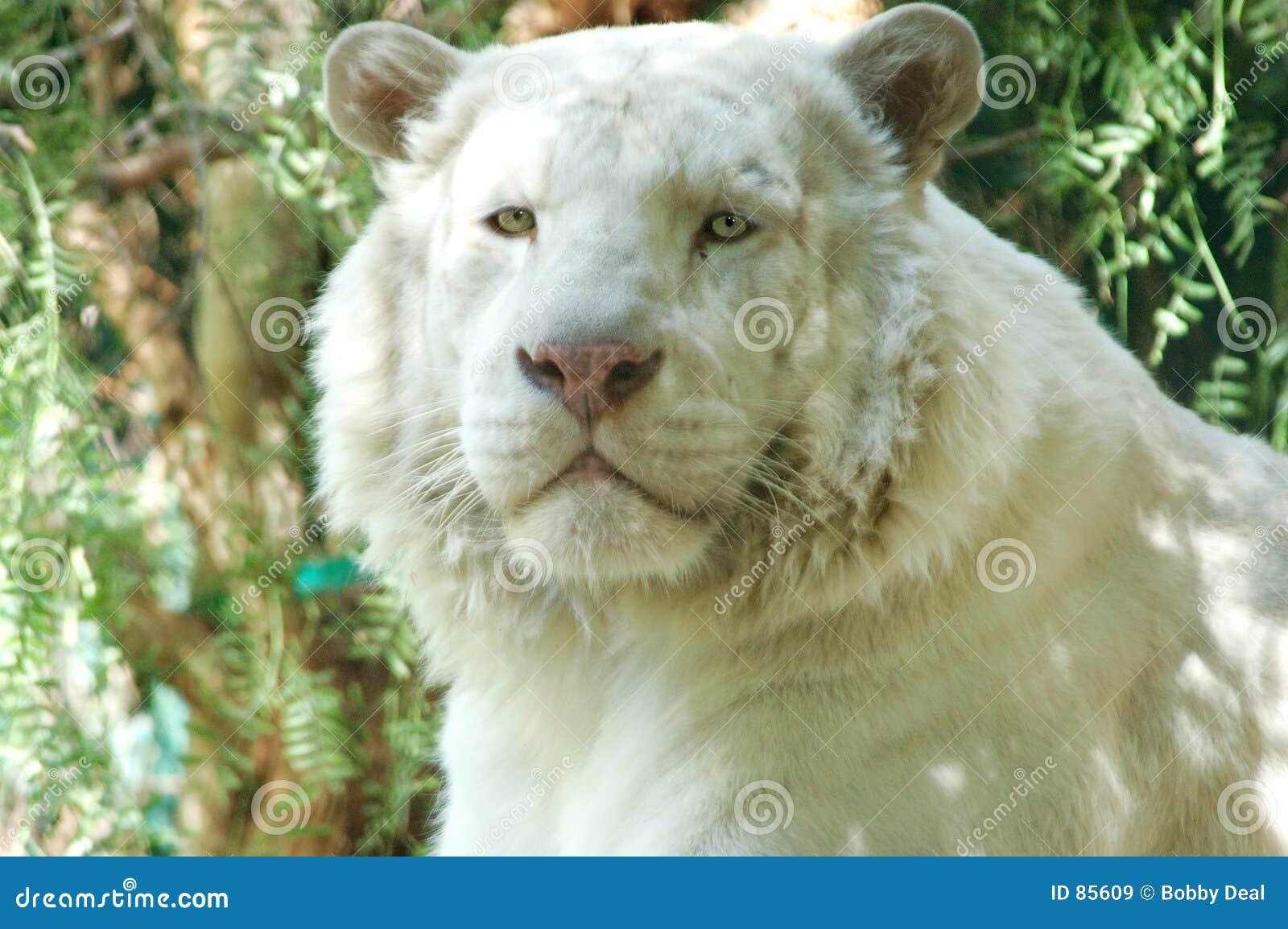 Lion blanc 3