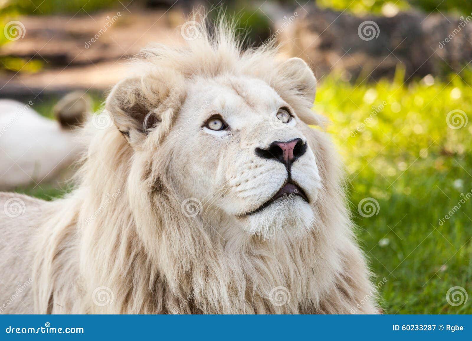 Lion blanc image stock image du blanc nature afrique - Photos de lions gratuites ...