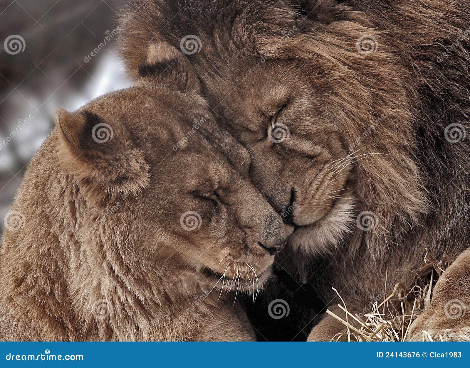 lion couple stock photo. image of together, predator - 24143676