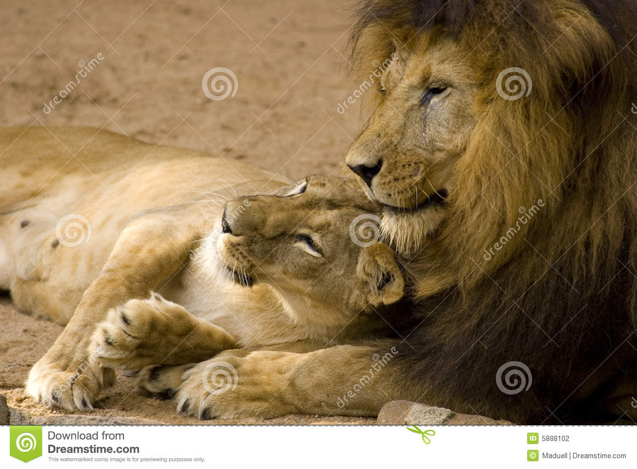 Lion Couple Stock Photography Image 5888102