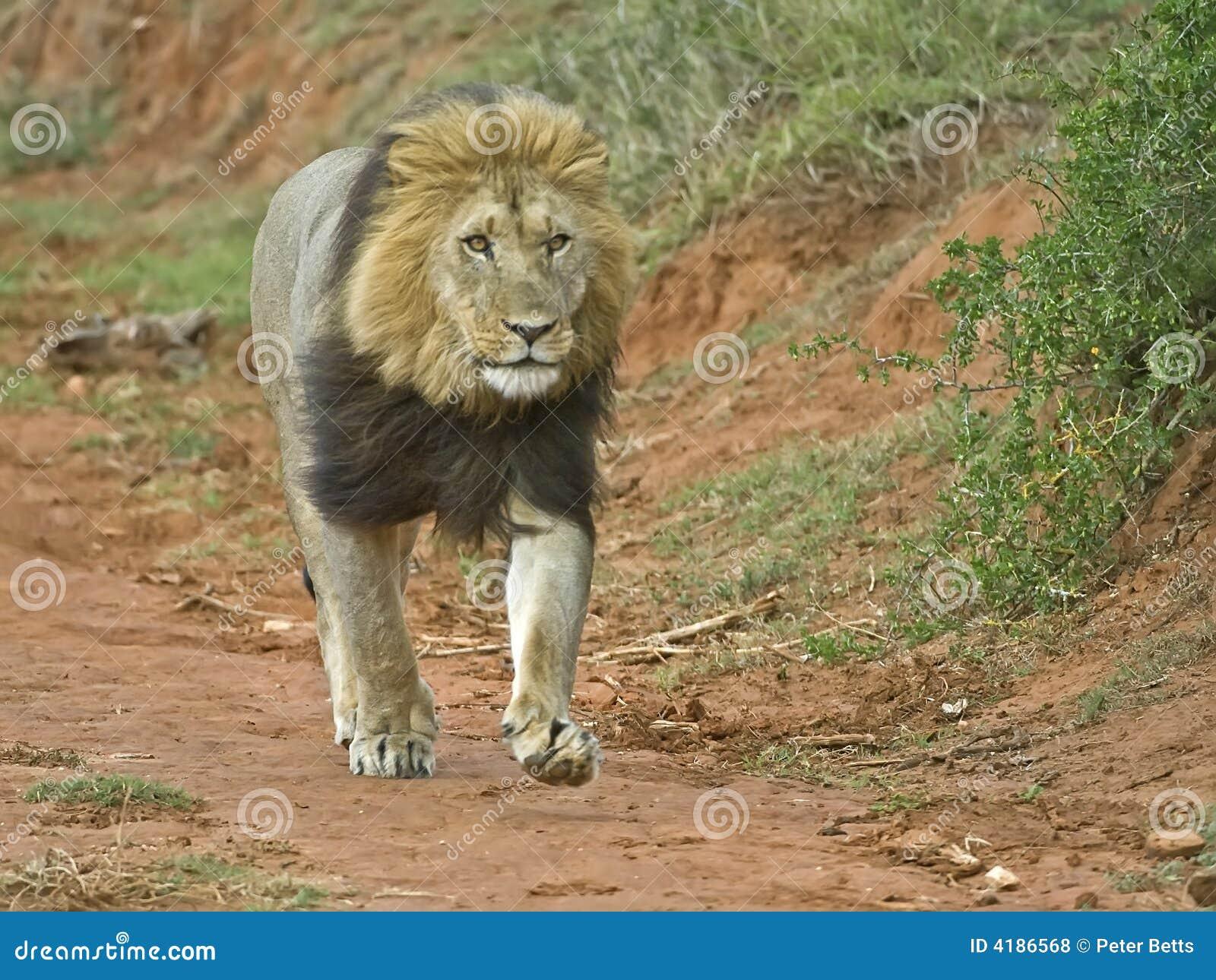 Lion courant photo stock image du stationnement dominant - Photos de lions gratuites ...
