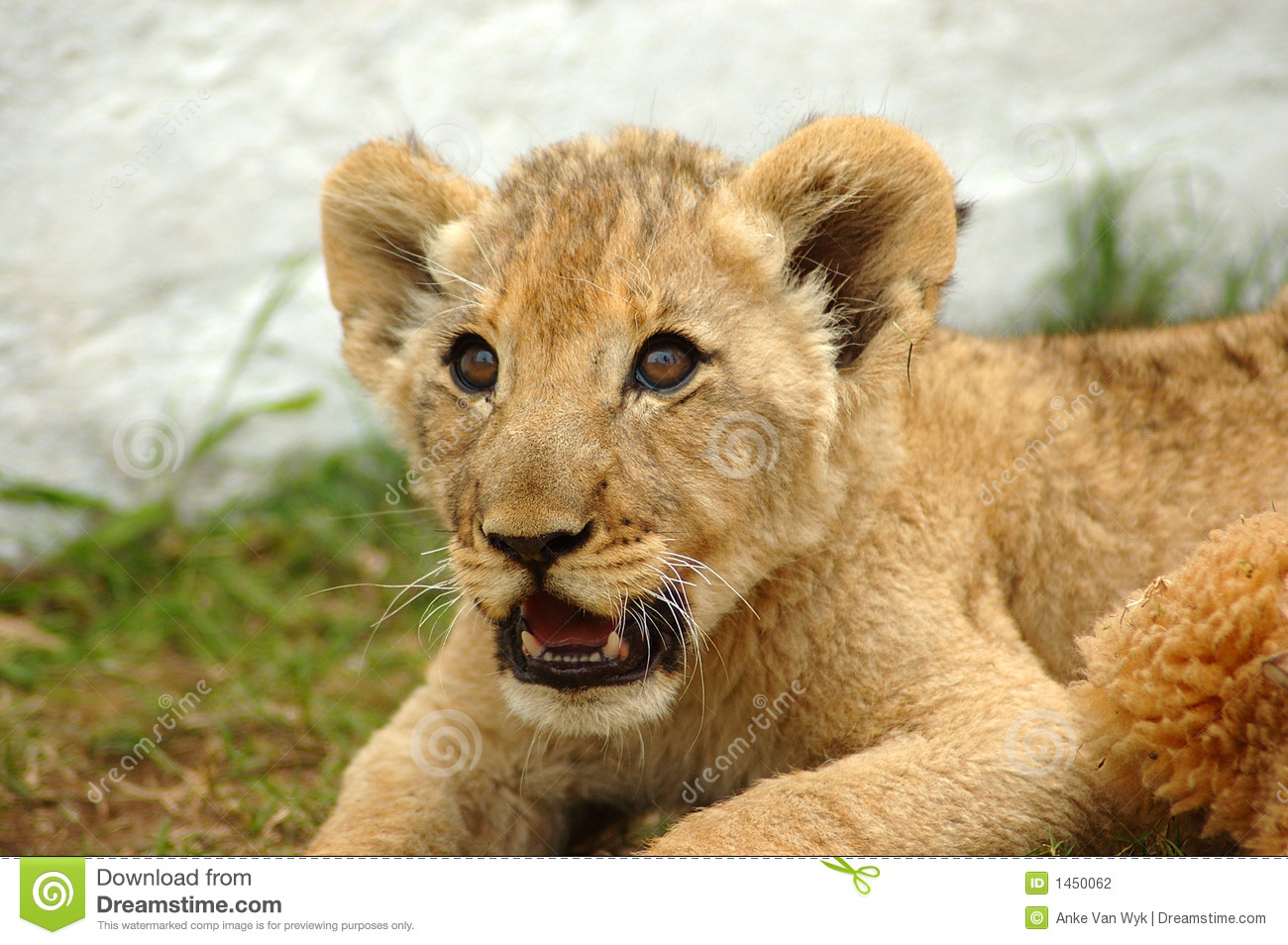 Lion Cub Stock Photography Image 1450062